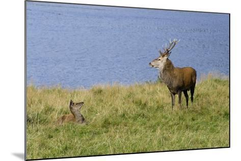 Red Deer (Cervus Elaphus) Stag and Hind During Rut on the Edge of Loch Ranza--Mounted Photographic Print