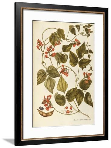 Runner Bean (Phaseolus Coccineus)--Framed Art Print