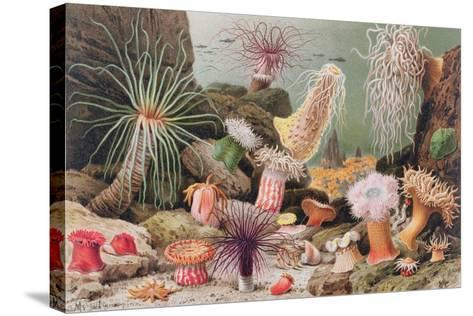 Sea Anemone--Stretched Canvas Print