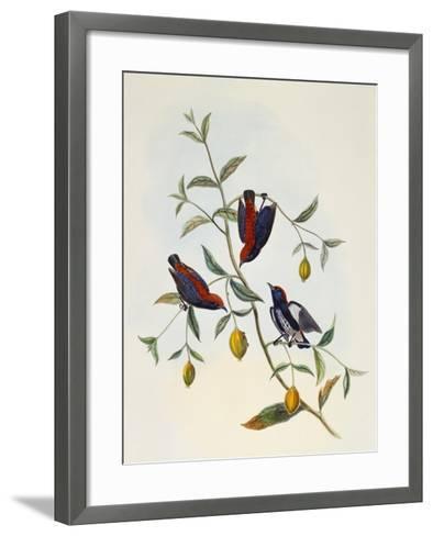 Scarlet-Backed Flowerpecker (Dicaeum Cruentatum)--Framed Art Print