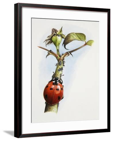 Sevenspotted Lady Beetle (Coccinella Septempunctata) on Branch in Search of Aphids or Plant Lice--Framed Art Print