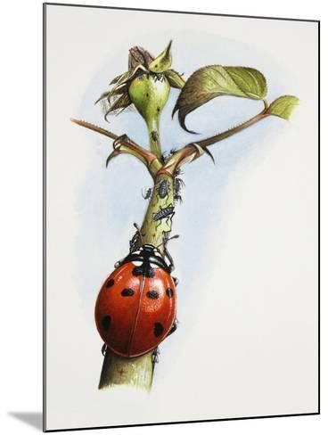 Sevenspotted Lady Beetle (Coccinella Septempunctata) on Branch in Search of Aphids or Plant Lice--Mounted Giclee Print