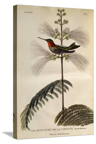 Ruby-Throated Hummingbird (Archilochus Colubris)--Stretched Canvas Print