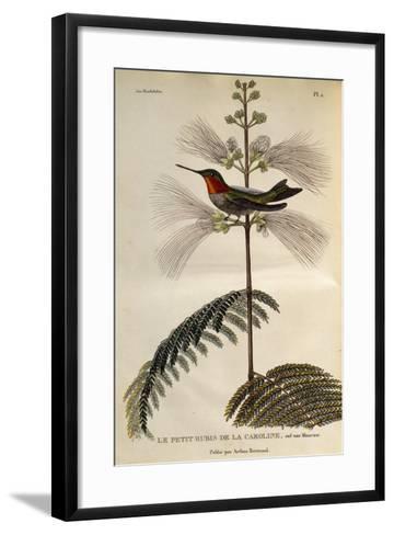 Ruby-Throated Hummingbird (Archilochus Colubris)--Framed Art Print