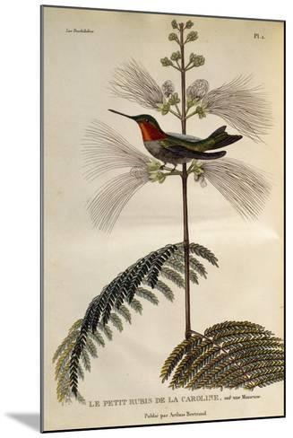 Ruby-Throated Hummingbird (Archilochus Colubris)--Mounted Giclee Print