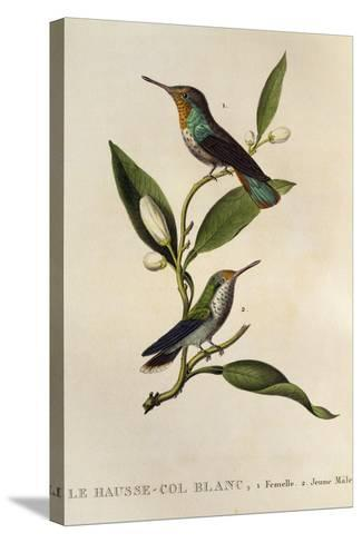 Ruby-Topaz Hummingbird Female and Young Male (Chrysolampis Mosquitus)--Stretched Canvas Print