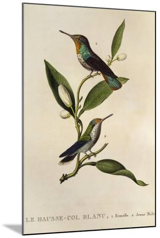 Ruby-Topaz Hummingbird Female and Young Male (Chrysolampis Mosquitus)--Mounted Giclee Print