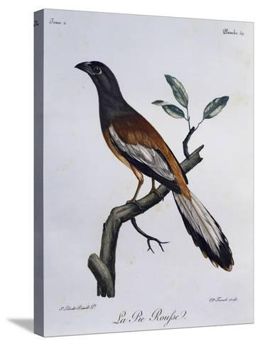 Rufous Treepie (Dendrocitta Vagabunda)--Stretched Canvas Print