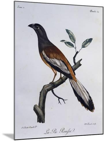 Rufous Treepie (Dendrocitta Vagabunda)--Mounted Giclee Print