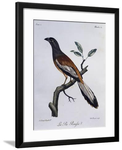 Rufous Treepie (Dendrocitta Vagabunda)--Framed Art Print