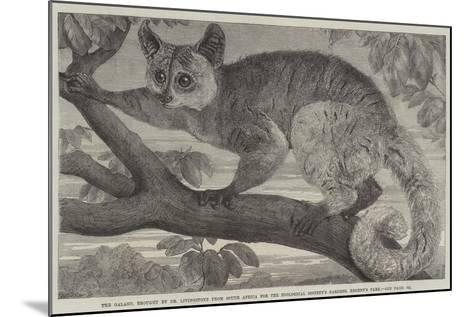 The Galago--Mounted Giclee Print