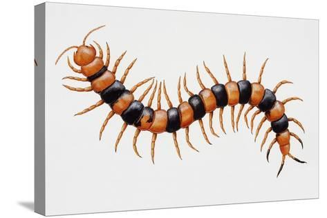 Tiger Centipede or Desert Centipede (Scolopendra Polymorpha)--Stretched Canvas Print