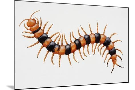 Tiger Centipede or Desert Centipede (Scolopendra Polymorpha)--Mounted Giclee Print