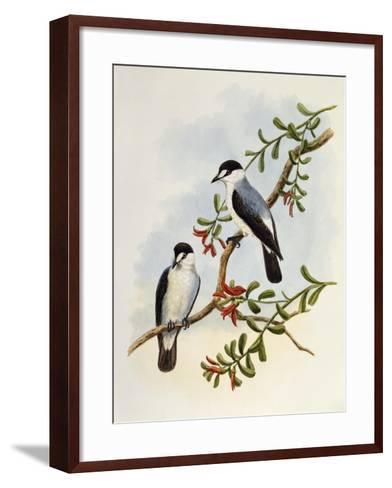 Torrent Robin (Monachella Muelleriana)--Framed Art Print