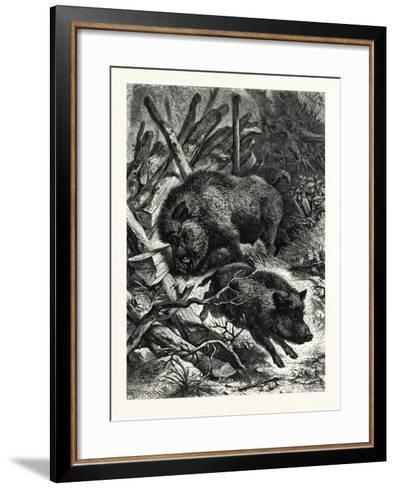 Wild Boars. after Specht. Wild Boar (Sus Scrofa)--Framed Art Print