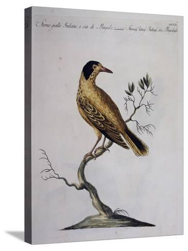 Yellow Starling (Indian or Bengal) (Sturnus Luteus Indicus--Stretched Canvas Print