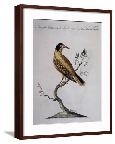Yellow Starling (Indian or Bengal) (Sturnus Luteus Indicus--Framed Art Print