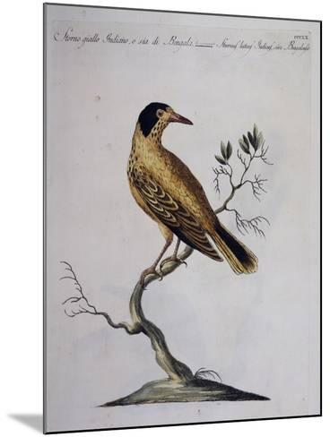 Yellow Starling (Indian or Bengal) (Sturnus Luteus Indicus--Mounted Giclee Print