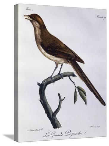 Yellow-Billed Shrike (Corvinella Corvina)--Stretched Canvas Print