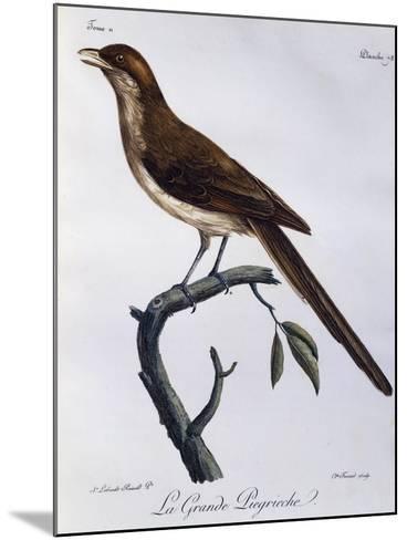 Yellow-Billed Shrike (Corvinella Corvina)--Mounted Giclee Print