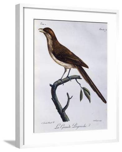 Yellow-Billed Shrike (Corvinella Corvina)--Framed Art Print