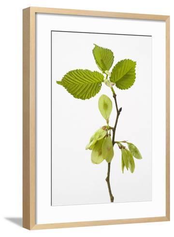 Wych Elm (Ulmus Glabra)--Framed Art Print