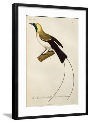 Young Male of Lesser Bird-Of-Paradise (Paradisaea Minor)--Framed Art Print