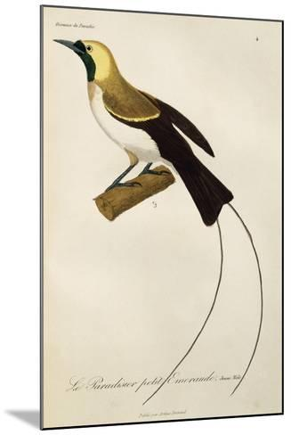 Young Male of Lesser Bird-Of-Paradise (Paradisaea Minor)--Mounted Giclee Print