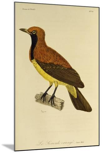 Young Male of Masked Bowerbird (Sericulus Aureus)--Mounted Giclee Print