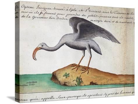 White Ibis (Eudocimus Albus)--Stretched Canvas Print