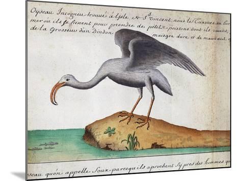 White Ibis (Eudocimus Albus)--Mounted Giclee Print