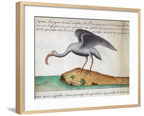 White Ibis (Eudocimus Albus)--Framed Art Print
