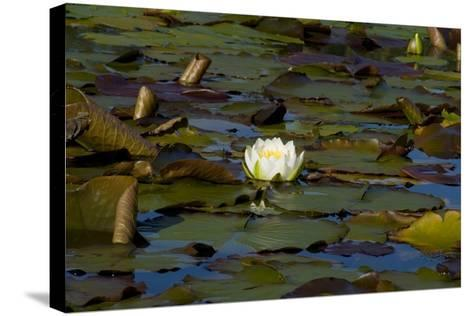 White Water Lilies (Nymphaea Marliacea 'Albida' or Nymphaea Alba) Flowering on Lake--Stretched Canvas Print