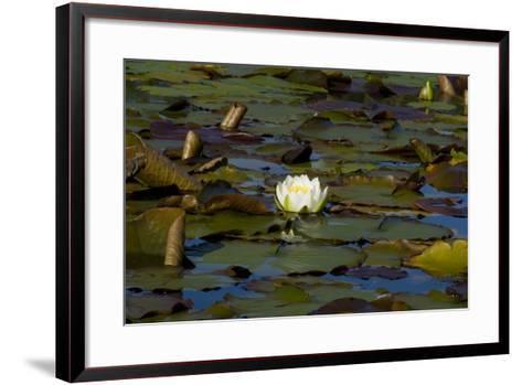 White Water Lilies (Nymphaea Marliacea 'Albida' or Nymphaea Alba) Flowering on Lake--Framed Art Print