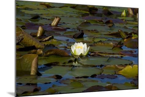 White Water Lilies (Nymphaea Marliacea 'Albida' or Nymphaea Alba) Flowering on Lake--Mounted Photographic Print