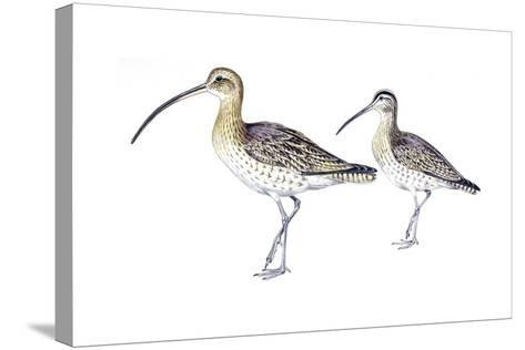 Birds: Charadriiformes, Eurasian Curlew (Numenius Arquata) and Whimbrel (Numenius Phaeopus)--Stretched Canvas Print
