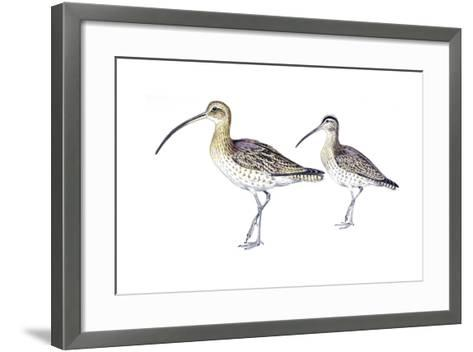 Birds: Charadriiformes, Eurasian Curlew (Numenius Arquata) and Whimbrel (Numenius Phaeopus)--Framed Art Print