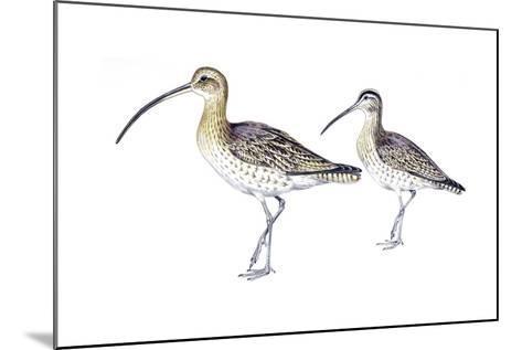 Birds: Charadriiformes, Eurasian Curlew (Numenius Arquata) and Whimbrel (Numenius Phaeopus)--Mounted Giclee Print