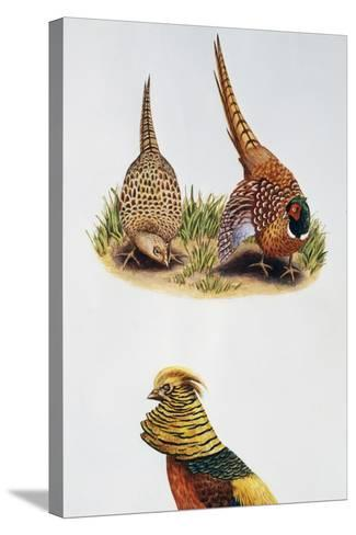 Common Pheasants Pair (Phasianus Colchicus) and Golden Pheasant (Chrysolophus Pictus), Phasianidae--Stretched Canvas Print