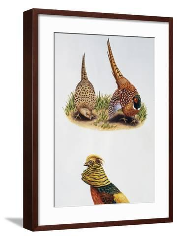 Common Pheasants Pair (Phasianus Colchicus) and Golden Pheasant (Chrysolophus Pictus), Phasianidae--Framed Art Print