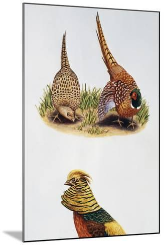 Common Pheasants Pair (Phasianus Colchicus) and Golden Pheasant (Chrysolophus Pictus), Phasianidae--Mounted Giclee Print