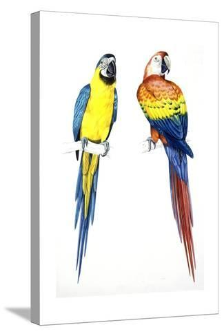 Birds: Psittaciformes, Blue-And-Yellow Macaw (Ara Ararauna) and Scarlet Macaw (Ara Macao)--Stretched Canvas Print
