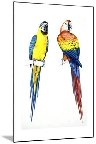 Birds: Psittaciformes, Blue-And-Yellow Macaw (Ara Ararauna) and Scarlet Macaw (Ara Macao)--Mounted Giclee Print