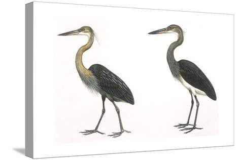 Birds: Ciconiiformes, Great-Billed Heron (Ardea Sumatrana), White-Bellied Heron (Ardea Insignis)--Stretched Canvas Print