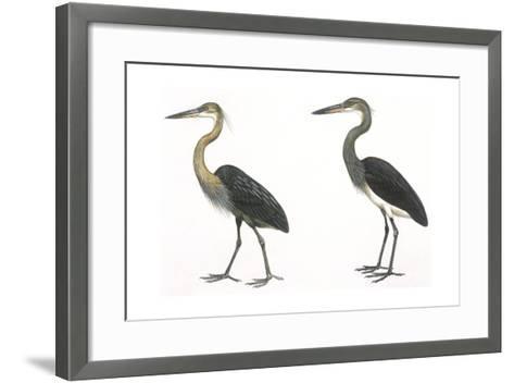 Birds: Ciconiiformes, Great-Billed Heron (Ardea Sumatrana), White-Bellied Heron (Ardea Insignis)--Framed Art Print