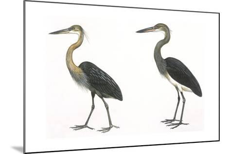 Birds: Ciconiiformes, Great-Billed Heron (Ardea Sumatrana), White-Bellied Heron (Ardea Insignis)--Mounted Giclee Print