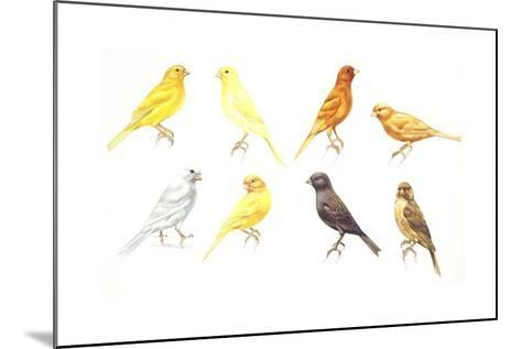 Birds: Passeriformes, Canaries (Serinus Canaria): Colourbred Canaries, Colour Mutations--Mounted Giclee Print