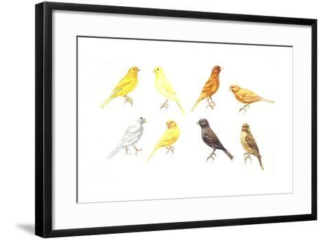 Birds: Passeriformes, Canaries (Serinus Canaria): Colourbred Canaries, Colour Mutations--Framed Art Print