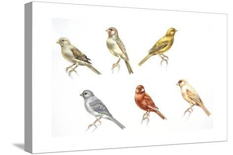 Birds: Passeriformes, Canaries (Serinus Canaria): Colourbred Canaries, Colour Mutations--Stretched Canvas Print