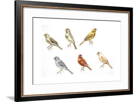 Birds: Passeriformes, Canaries (Serinus Canaria): Colourbred Canaries, Colour Mutations--Framed Art Print